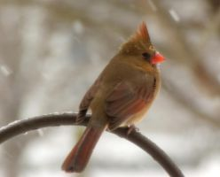 Northern Cardinal by captainslack
