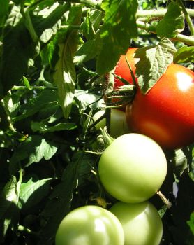 Tomatoes by BonnieLime