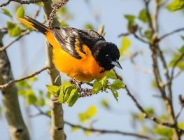 Baltimore Oriole - Male Breeding Plumage by JestePhotography