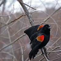 Redwing Black Bird Calling by Mogrianne