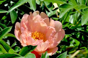 peony peach by pinestater234