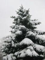 Blue Spruce by FicktionPhotography
