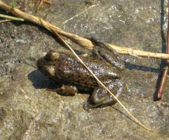 Brown frog by Reyphotos