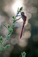 Darter on flares by buleria