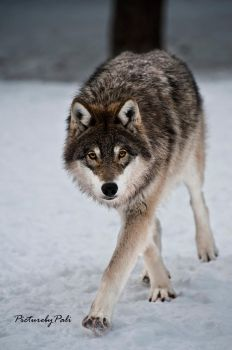 The Stealthy wolf by PictureByPali