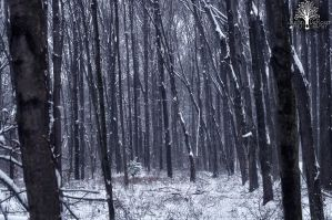 The White Woods by JustinDeRosa