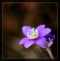 hepatica for you :) by LeopoldXXX