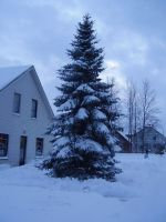 Stock - Snowy Fir Tree by triinustock