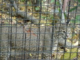 Bobcat at the Brandywine Zoo by EchoSwiftpaws