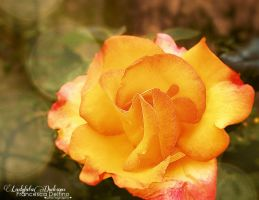 Romantic rose by FrancescaDelfino
