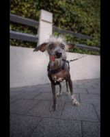 Chinese Crested by shaysapir