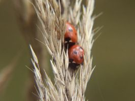Ladybugs in love. by Amelie1994