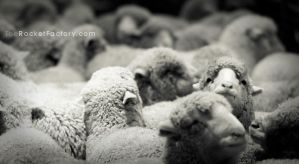 Sheep in the pen by frankrizzo