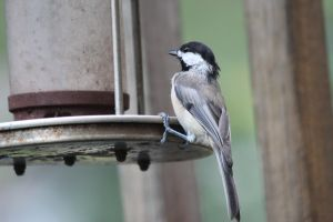 Sweet Chickadee by Laur720