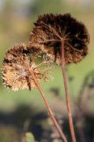 Unknown plant gone to seed 1 by greyrowan