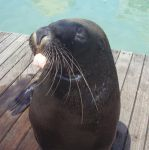 Cheeky seal by budgie-lover