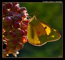 Cloudless Sulphur Backlight by boron