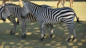 Zebra Stock by xxPhoenixPhotography