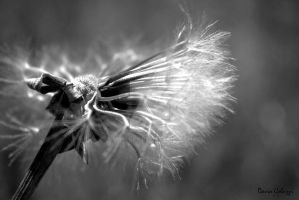 Dandelion life and death by smaccks