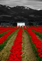 Tulip Farm by LarryGorlin