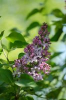 My Lilac by Digital-Snapshots