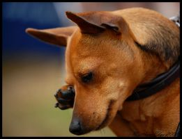 Miniature Pinscher by oddball-walking