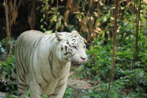white tiger by guru1993