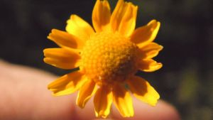 Yellow Flower 2 by TheGerm84