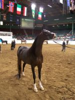 US Nationals - Halter 23 by Nyaorestock