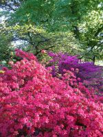 Rhododendron Reverie 6 by JanuaryGuest