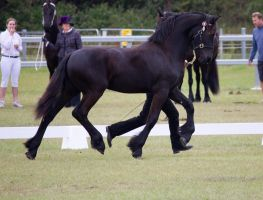 STOCK - Friesian Show 2012-53 by fillyrox