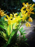 Yellow Orchidaceae by remuru
