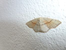 Maiden's Blush Moth, Front of House by SrTw