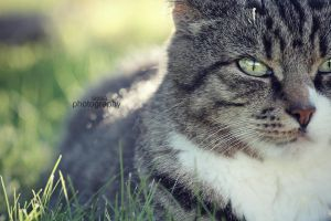 Cat 11 by sisselPhotography
