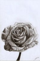 Rose by AmBr0