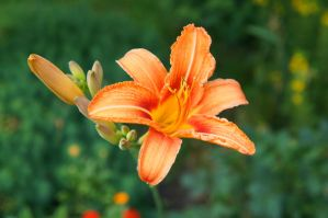 One more bright flover. One of types of lily. by Cathie-Cat