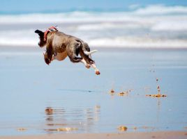 FlyingWhippet by DobesMom