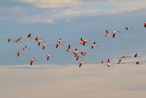 Flamingo Flight - Formation of Color by LivingWild