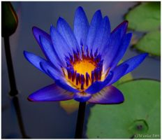 Blue Water Lily 1 by texasghost