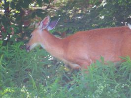 Whitetail Deer Stock 0257 by sUpErWoLf--StOcK