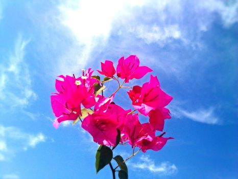 Bougainvillea and Sky by StarShineAlys
