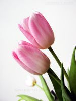Tulips 2 by KSMPhotography