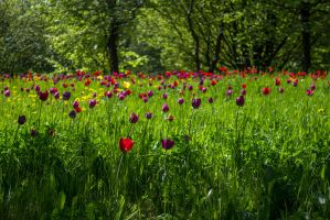 13-05 tulips meadow #2 by evionn