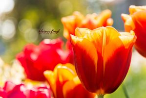 tulips by kleinerEngl