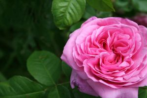 Touch of Pink.. by bellajynx