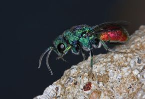 Jewel wasp by ELKAPL