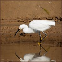 Hungry Egret by ernieleo