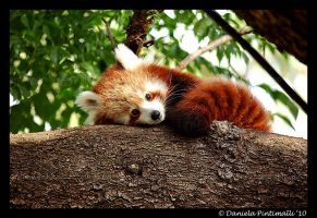 Red Panda III by TVD-Photography