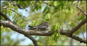 On Watch: Mama Common Nighthawk *PRINT* by Through-the-Lens234
