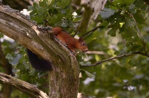Squirrel in a tree by Risigma